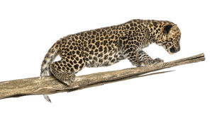 Petit animal repéré de léopard rôdant sur une branche, 7 semaines de  photo stock