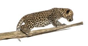 Petit animal repéré de léopard rôdant sur une branche, 7 semaines de  image libre de droits