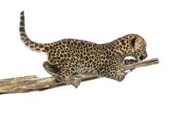 Petit animal repéré de léopard rôdant sur une branche, 7 semaines de  photographie stock libre de droits