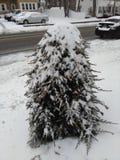 Petit arbre à feuilles persistantes fortement couvert de neige image libre de droits