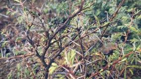 Petit arbre de Babul Images libres de droits