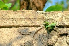 Petit arbre de Bodhi grandissant des frontières entre le plancher et le wa Image libre de droits