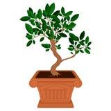 Petit arbre de bonsaïs dans le pot Photo stock