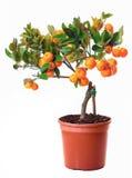 Petit arbre de citron dans le bac Images libres de droits