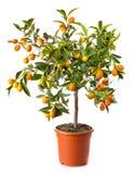 Petit arbre de citron dans le bac Photo libre de droits