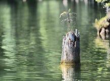Petit arbre particulier sur un tronc d'arbre de la mort dans un lac en Roumanie Photos libres de droits