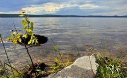 Petit arbre sur le rivage d'un lac en été Image libre de droits