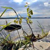 Petit arbre sur le rivage d'un lac en été Photos stock