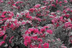 Petit arbuste avec de belles fleurs roses - noires et blanches Photo stock