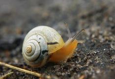 Petit bébé escargot brun à la route regardant en avant Photos stock
