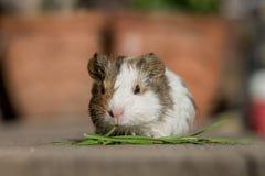 Petit bébé mignon de cobaye mangeant l'herbe Photo stock