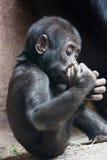 Petit bébé mignon de gorille jouant avec le pied photo libre de droits