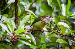 Petit barbican vert Image libre de droits