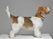 Petit Basset Griffon standard in a gray background studio Royalty Free Stock Image