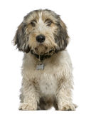 Petit Basset Griffon Vendeen, 7 Months Old, Royalty Free Stock Image