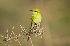 Petit Bee-Eater images stock