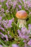 Petit champignon dans la bruyère images libres de droits