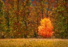Petit bouleau isolé contre de la forêt d'automne Photos libres de droits