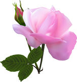 Petit bourgeon rose et grande fleur rose sur le blanc Photos stock