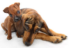 Petit boxeur de Brown mordant l'oreille d'un grand chien image stock