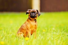 Petit brabacon dog stock images