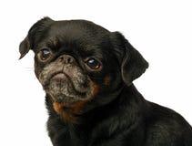 Petit brabancon dog. On the black background Stock Photo