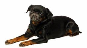 Petit brabancon dog. On the black background Stock Images