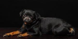 Petit brabancon dog. On the black background Royalty Free Stock Photo