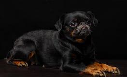 Petit brabancon dog. On the black background Royalty Free Stock Photos