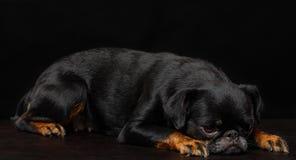 Petit brabancon dog. On the black background Stock Image