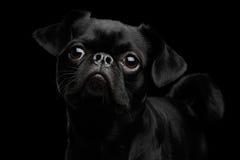 Petit brabansonhond op geïsoleerde zwarte achtergrond royalty-vrije stock foto