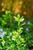 Petit brin vernal vert simple étroit du futur élevage d'arbre fruitier Photos libres de droits
