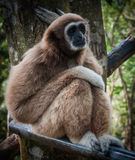 Petit Brown Gibbon, Koh Samui, Thaïlande Images stock