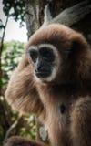 Petit Brown Gibbon, Koh Samui, Thaïlande Image stock