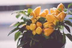 Petit buisson de piments jaune dans un pot blanc image stock