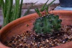 Petit cactus dans le jardin photo libre de droits