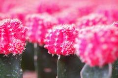 Petit cactus dans un pot pour la maison Photo stock
