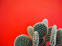 Petit cactus de microdasys d'opuntia également connu sous le nom de cactus d'oreilles de lapin sur un fond rose de corail vibrant photo stock
