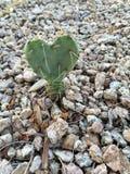 Petit cactus en forme de coeur Photographie stock libre de droits