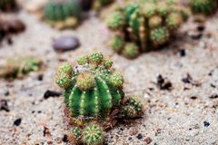 Petit cactus sur la terre Images stock