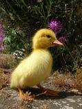 Petit canard Photos stock
