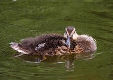 Petit canard Photo stock