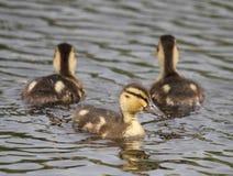 Petit canard image stock