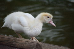 Petit canard Images libres de droits