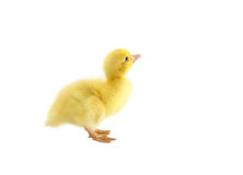 Petit canard de bébé Photographie stock