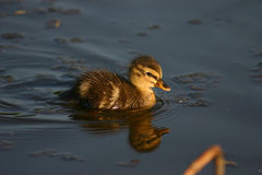 Petit canard de Woudrichem Photo stock