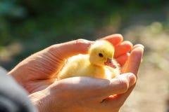 Petit canard jaune Images stock