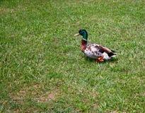 Petit canard sauvage Image libre de droits