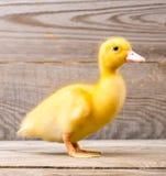 Petit caneton jaune Image libre de droits