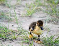 Petit caneton mignon dans l'herbe Image libre de droits